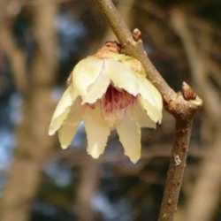 The five most fragrant winter blooming shrubs daves garden blooming and perfuming wintersweet chimonanthes praecox is a fragrant winter blooming shrub mightylinksfo