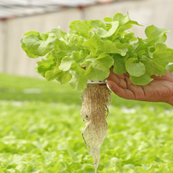 Hydroponic plant with its roots exposed
