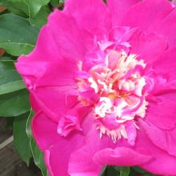 beautiful pink peony