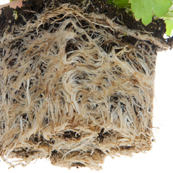 Root System Bound Around Plant Removed from Container