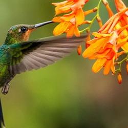 Hummingbird with orange flowers