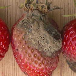 Botrytis Mold Of Strawberries