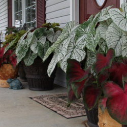 front porch with coleus and caladiums