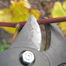 Pruning Shears Cutting a Twig