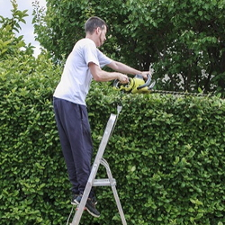 Man trimming evergreen hedges