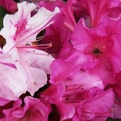 Autumn Twist azalea