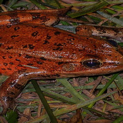 rust colored frog