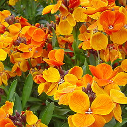 Erysimum 'Orange Bedder'