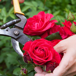 Pruning Two Red Roses