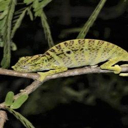 Voeltzkow's chameleon