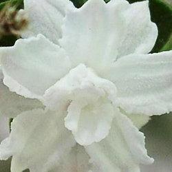 Serissa japonica 'Flore-pleno'
