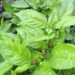 Basil plants growing in a garden