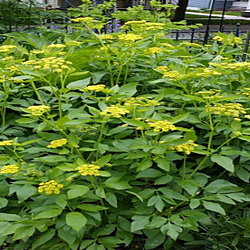 Golden alexanders by sidewalk