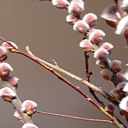 pink pussy willow buds