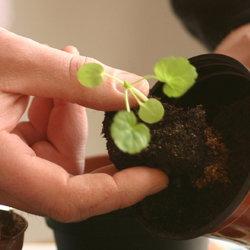 Transplanting a seedling