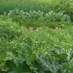 Vegetable plants in the garden