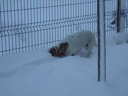Minnie searching for mice with her head deep into the snow