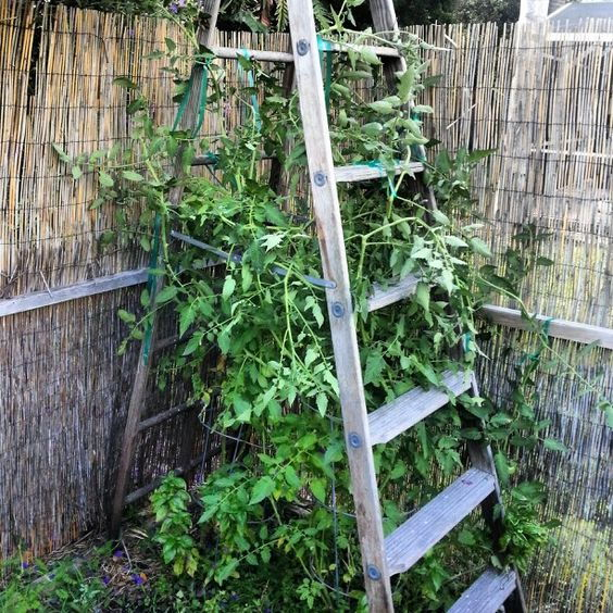 old ladder as a tomato cage