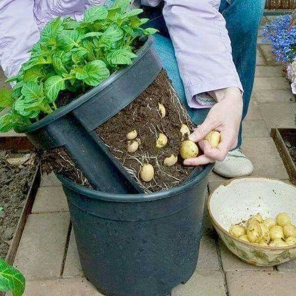 potato growing container