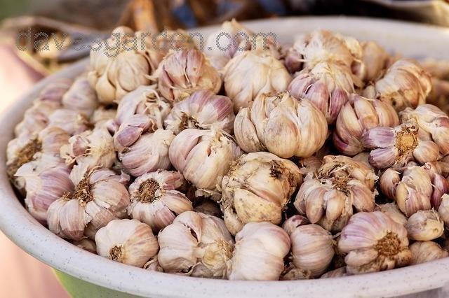 pile of fresh garlic
