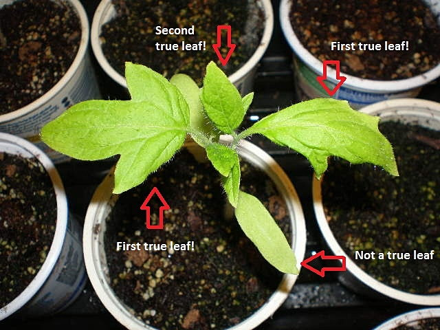 tomato plant showing true leaves