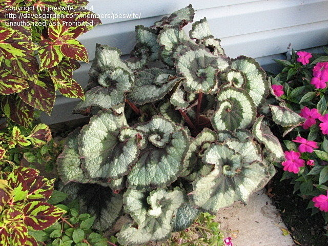 silver rex begonia with dark spiral swirls