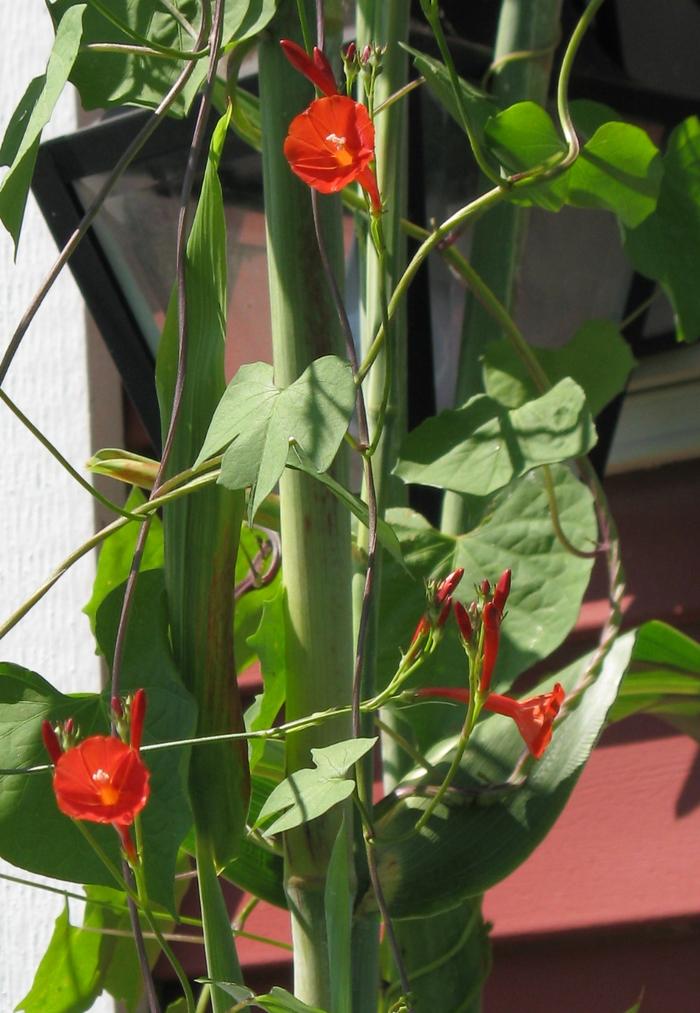 Scarlet Starglory