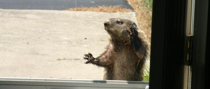 groundhog knocking on door