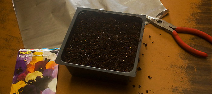 sowing pansy seeds