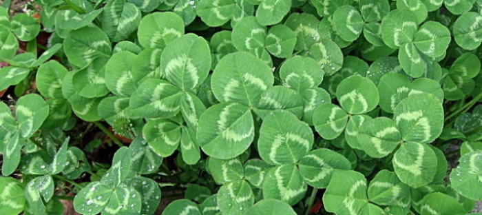 White clover is most commonly used as an example of the shamrock