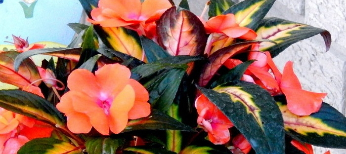 New guinea impatiens the sun tolerant version of the popular as gardeners many of us are familiar with impatiens a staple annual in many shady flower beds new guinea impatiens however are a near relative that can mightylinksfo