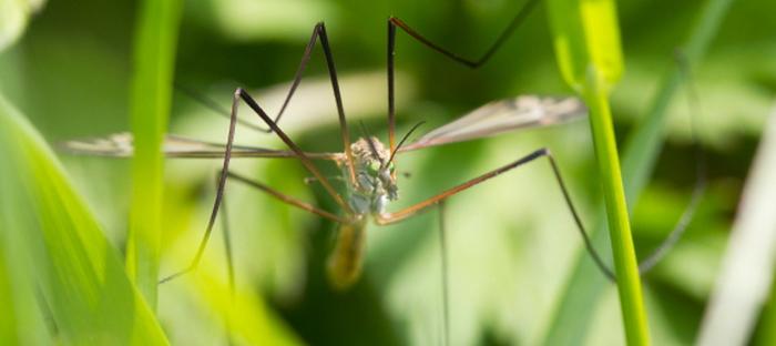 Crane Fly Control - Dave's Garden