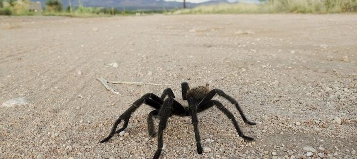 Tarantula crossing the road