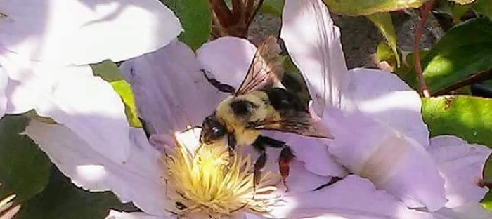 Busy bee sipping nectar from a clematis bloom.