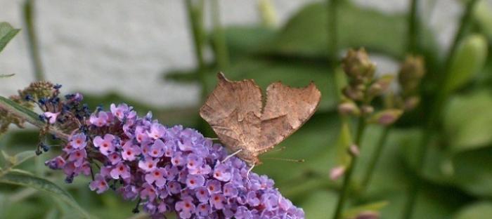 comma butterfly on purple butterfly bush