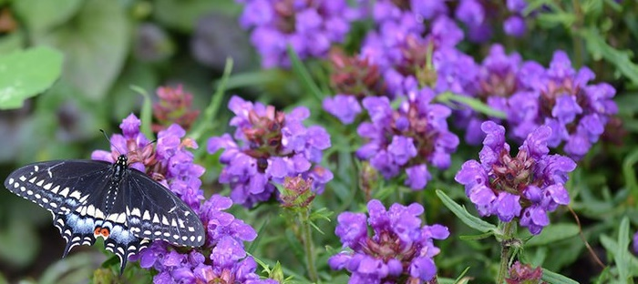 Prunella vulgaris in bloom with butterfly