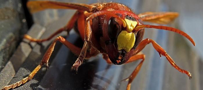Murder hornet face
