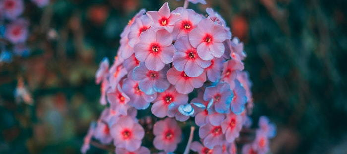 colorful bract of pink and blue flowers