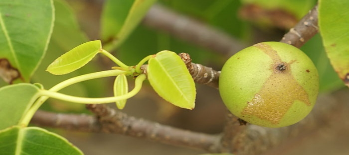 poisonous manchineel fruit growing on the tree