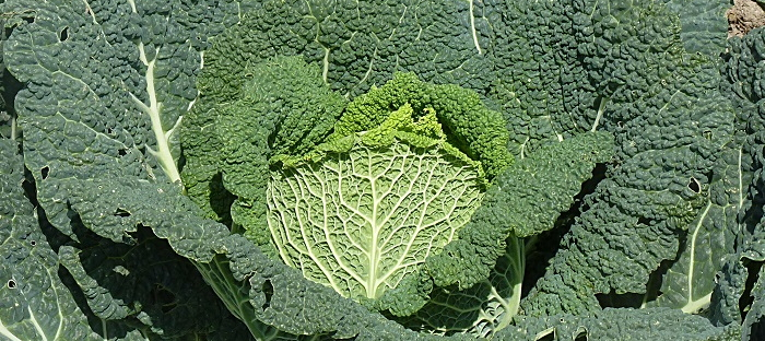 Savoy cabbage Daves Garden