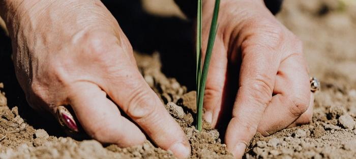 hands planting a transplant