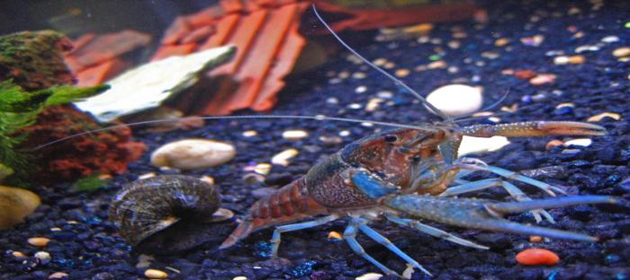 Crawfish or Crayfish? - Dave's Garden