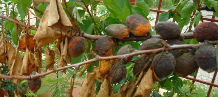 What S Happening To My Apricot Dave S Garden