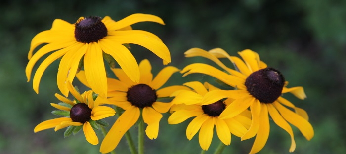 identifying wildflowers rudbeckia hirta the black eyed susan