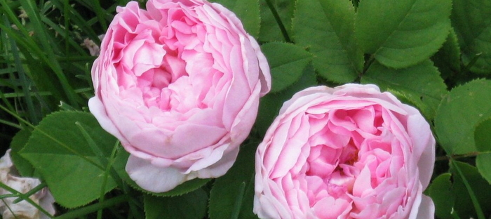 Great Companion Plants For Roses Dave S Garden