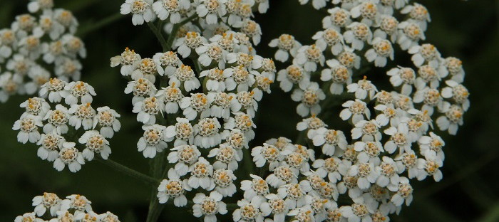 white yarrow in full bloom