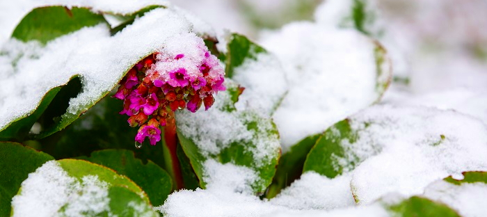 pink flowers blooming in the snow