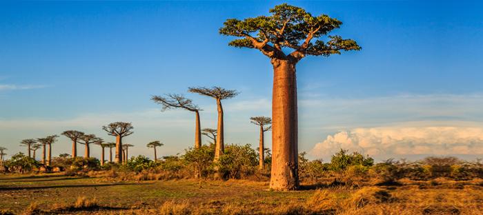 Field of Baobab Trees