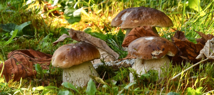 Porcini Mushrooms Growing On Sunny Grass