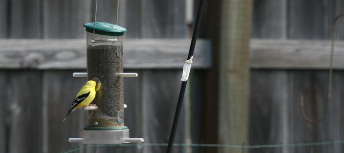 goldfinch at a bird feeder